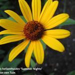 Heliopsis helianthoides 'Summer Nights' - Valse Zonnebloem