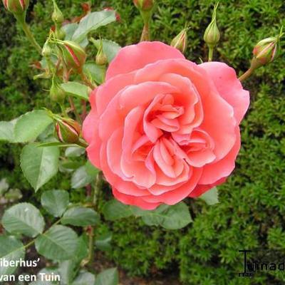 Rosa 'Riberhus' -