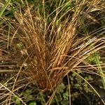 Carex 'Bronze Reflection' - Carex 'Bronze Reflection' - Zegge