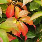 wilde wingerd - Parthenocissus quinquefolia 'Engelmannii'