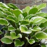 Hosta 'Torchlight' - Hartlelie/Funkia