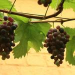 Vitis vinifera 'Frankenthaler' - Druif - Vitis vinifera 'Frankenthaler'