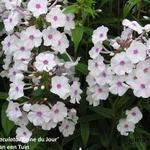 Phlox maculata 'Reine du Jour' - Phlox maculata 'Reine du Jour' - floks, vlambloem