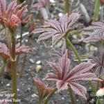 Rodgersia 'Ideal' -