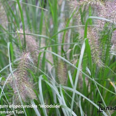 Pennisetum alopecuroides 'Woodside' - Lampepoetsergras - Pennisetum alopecuroides 'Woodside'
