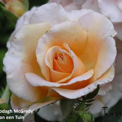 Rosa 'Clodagh McGredy' -
