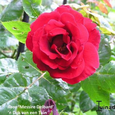 Rosa ' Messire Delbard' -