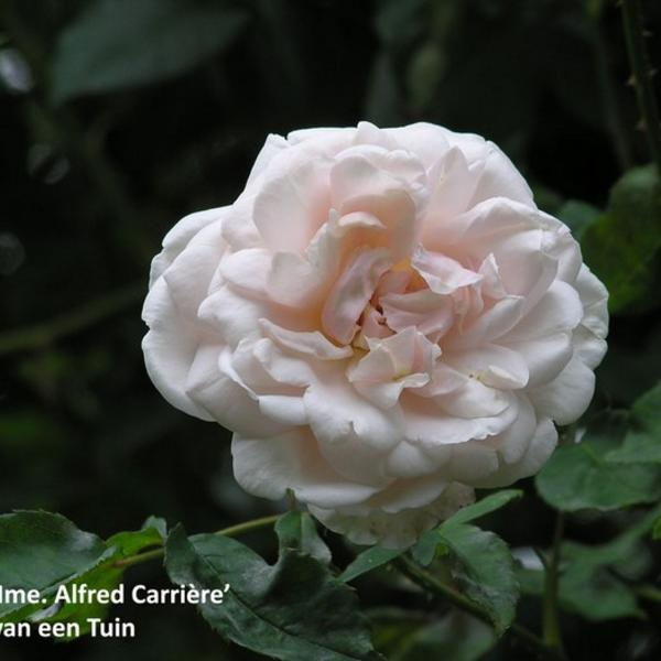 Rosa 'Mme. Alfred Carriere'