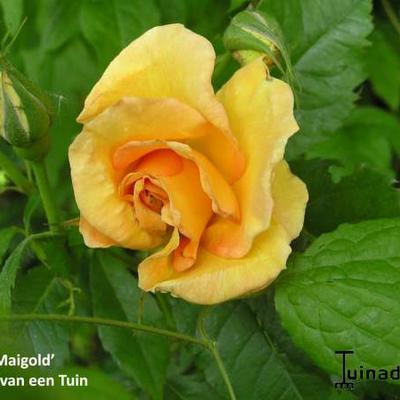Rosa 'Maigold'  -
