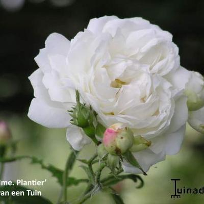 Roos, klimroos - Rosa 'Mme Plantier'