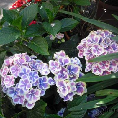 Hydrangea macrophylla 'Bavaria' -