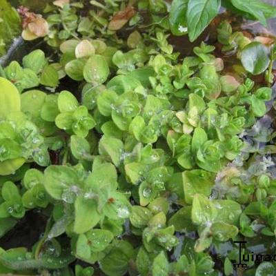 Hypericum elodes -
