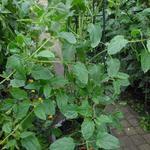 Canarina canariensis  -