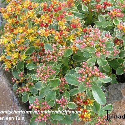 Sedum kamtschaticum var. middendorffianum -