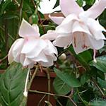 Fuchsia 'White Galore' - Bellenplant