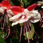 Fuchsia 'New Fascination' - Bellenplant