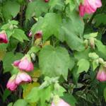 Abutilon x hybridum - Abutilon x hybridum - Chinese lantaarn