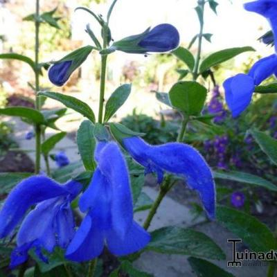 Salvia patens 'Oxford Blue' -