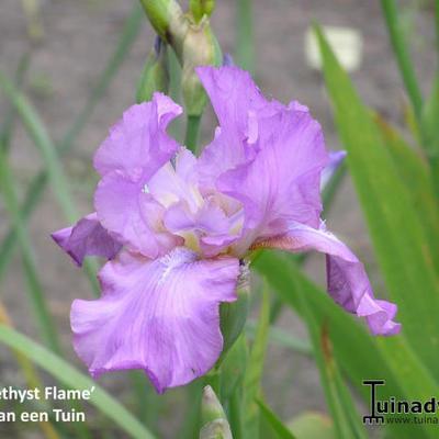 Iris 'Amethyst Flame' -