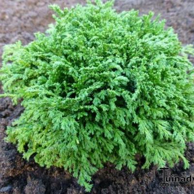 Chamaecyparis pisifera 'HIME - Sawara ' -
