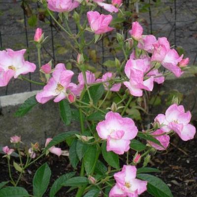 Rosa 'Frisson Frais' -