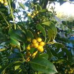 Ilex aquifolium 'Bacciflava' - Ilex aquifolium 'Bacciflava' - Hulst