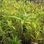 Pleioblastus fortunei - Dwergbamboe - Pleioblastus fortunei