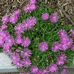 Delosperma cooperi 'Table Mountain' - IJsbloem