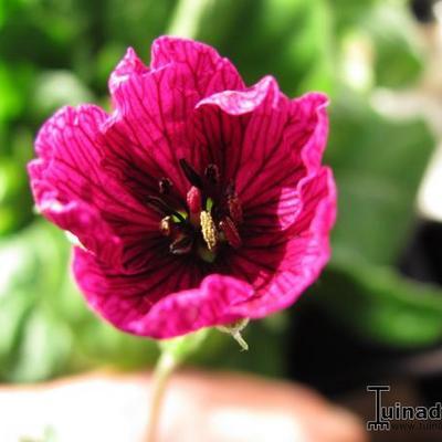 Geranium cinereum 'Purple Pillow' -