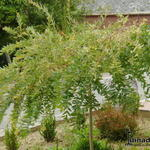 Salix integra ´Flamingo´ -