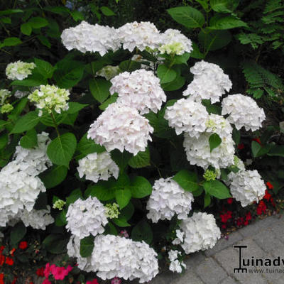 Hydrangea Macrophylla 'ENDLESS SUMMER The Bride'  - Hortensia, Bolhortensia - Hydrangea Macrophylla 'ENDLESS SUMMER The Bride'