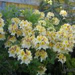 Rhododendron 'Lapwing'  - Rododendron