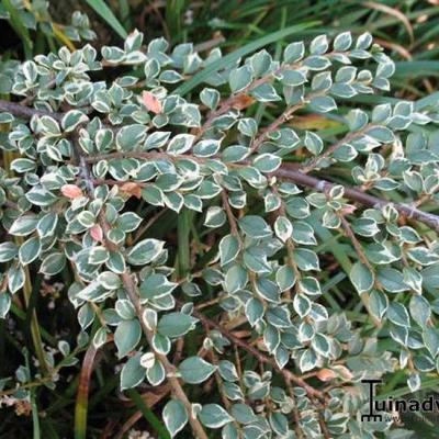 Cotoneaster atropurpureus 'Variegatus' -