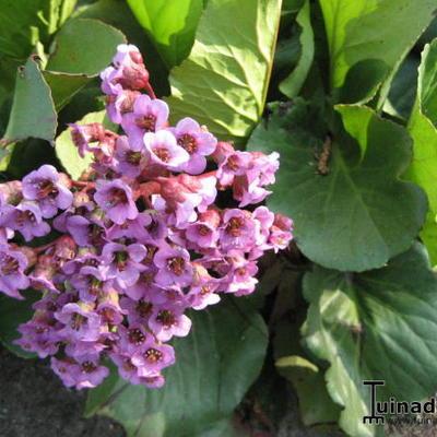 Bergenia hybride -