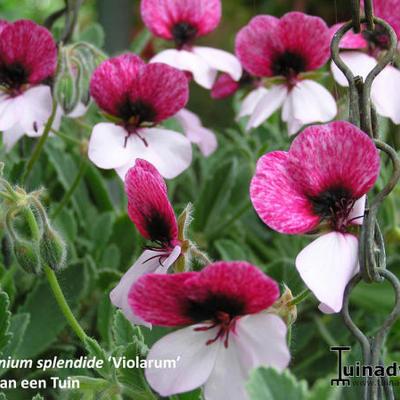 Pelargonium splendide 'Violarum' -