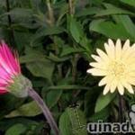 Gerbera garvinea 'Vivian' -