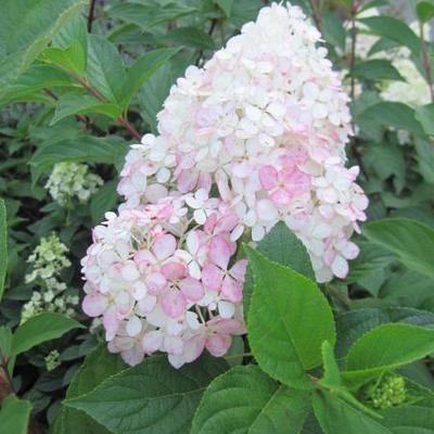 Hydrangea paniculata 'Vanille Fraise' -