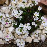 Androsace villosa var. arachnoidea - Androsace villosa var. arachnoidea - Spinnenweb