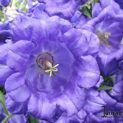 Campanula Medium Var. Calycanthema -