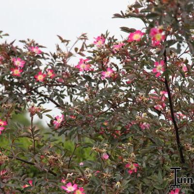 Rosa glauca -
