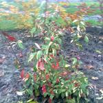 Photinia davidiana 'Palette' - Photinia davidiana 'Palette' - Glansmispel