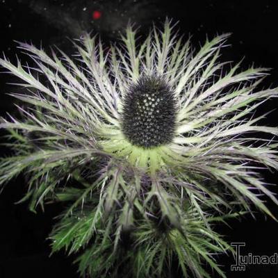 Eryngium alpinum -