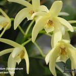 Dendrobium falcorostrum - Dendrobium falcorostrum - Beukenorchidee