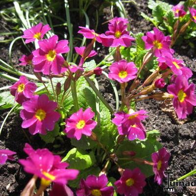 Primula megaseifolia -