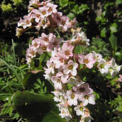 Bergenia cordifolia 'Schneekönigin' -