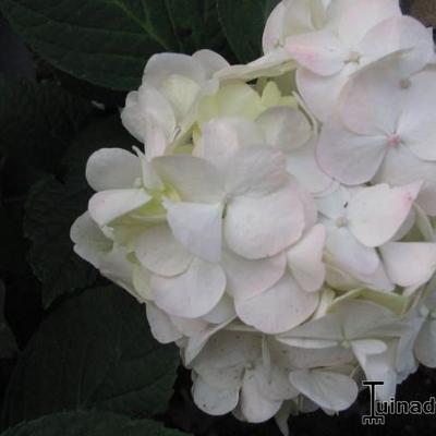 Hydrangea macrophylla 'Mme Emile Mouillère' -