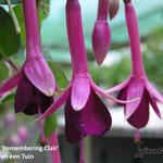 Fuchsia 'Remembering Claire' - Bellenplant