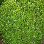 Buxus sempervirens 'Justin Brouwers' - Buxus
