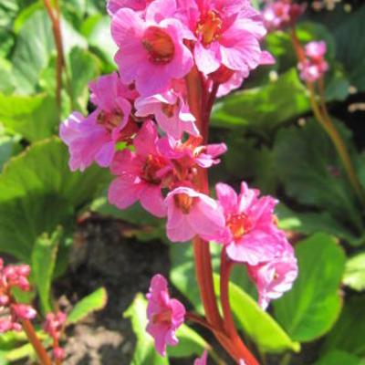 Bergenia cordifolia 'Herbstblüte' -