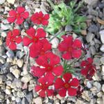 Androsace bulleyana - Androsace bulleyana - Rotsjasmijn
